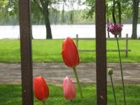 lake view through tulips
